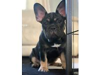 Black and Tan Frenchie