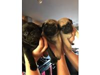 One fawn male pug forsale