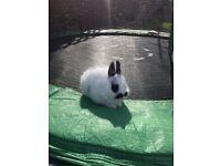 Baby Netherlands dwarf x rabbit 🐰