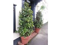 TWO LARGE BAY TREES (6FT ISH) POTTED