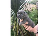Blue frenchbulldog boy