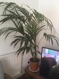 Palm house plant (AVAILABLE AGAIN)