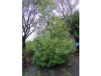 Bay Tree Laurus nobilis 15ft / 4.5m tall