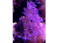 Marine coral pulsing Xenia