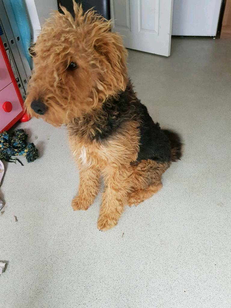 Airedale terrier boy kc 16 months