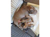 KC registered shar pei pups for sale 900