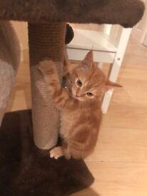 Gorgeous female ginger kitten