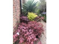 Spectacular Acers Trees all different Varieties, simply stunning £110.00 each