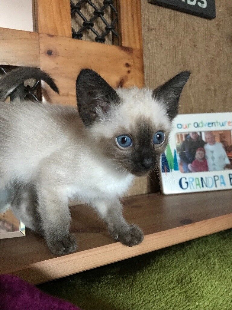 Tonkinese female kitten for sale