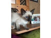 Tonkinese female kitten for sale