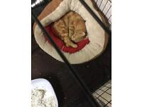 **BEAUTIFUL PURE GINGER CAT/KITTEN FOR SALE**
