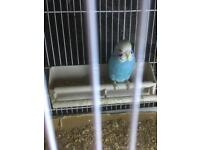 Baby budgie (read description)