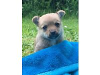 Pomchi puppies ready 3rd of June