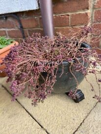Smokey blue onion shaped plant pot with a plant with purple leaves