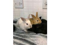 SUPER TAME BABY MINI LOP EARED BABY RABBIT MALE AND FEMALE WITH BRAND NEW INDOOR CAGE