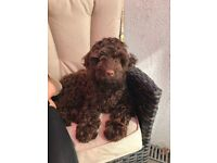 ADORABLE CHOCOLATE F1 COCKAPOO PUPPY FOR SALE