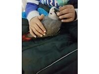 Super Tamed Baby African Grey Parrot for sale