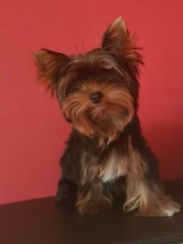 Yorkshire terrier mini cap size very small girl