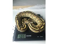 Royal Python butter