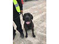 Beautiful presa canario dog security or pet