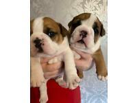 Wembholt bulldog puppies