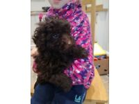 Beautiful miniature poodle pups