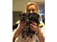 KC French bulldog puppies various colours