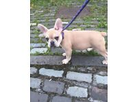 Maskless lilac fawn Frenchie for sale
