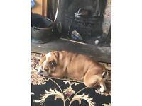 English bulldog bitch