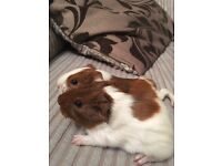 2 x baby female guinea pigs