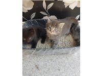 2 beautiful fluffly female kittens