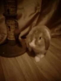Giant lop eared rabbit
