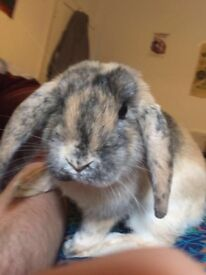 Lop Eared Rabbit 2 years Old