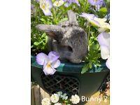 Super friendly Mini lop bunny for sale, Guildford