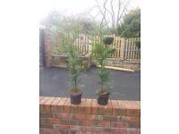 25x 1 meter tall conifers