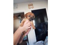 1 LIVELY MINI JACK RUSSELL PUP FOR SALE