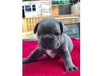 KC REGISTERED, Beautiful French Bulldog Pups
