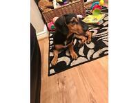 Dachshund and beagle cross - female