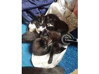 Kittens for sale born 13th June