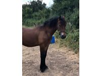 Stunning section D Welsh cob for sale