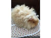 Guinea pig baby alpaca long curly hair satin boy