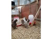 Silkie hens / chickens