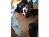 Old tyme English bulldog x staffy puppy