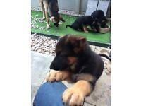 German Shepherd KC registered Puppies For Sale