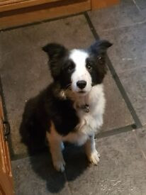 Border collie femail pup