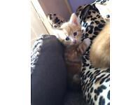 Gorgeous ginger kitten!