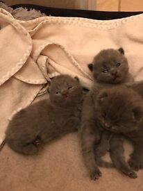 Kittens Bsh blues