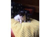 4 long hair chihuahua puppies