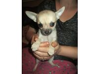 chihuahua boy pup forsale