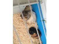 Guinea pigs for sale!!